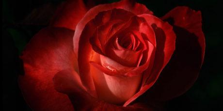 «Обретая розу» – Кеннет Харви
