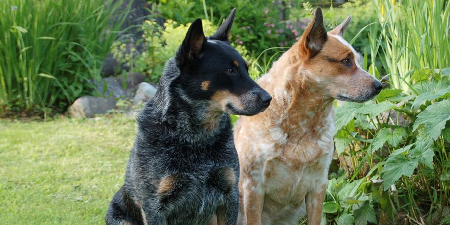 Два пса товарища
